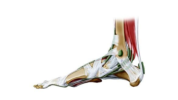 Tendões / ligamentos - Tendões / ligamentos