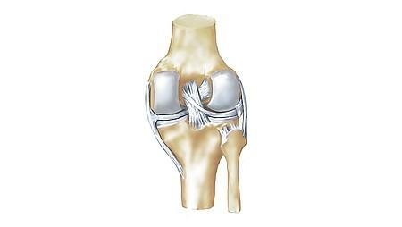 Anatomia da articulação do joelho - Anatomia da articulação do joelho